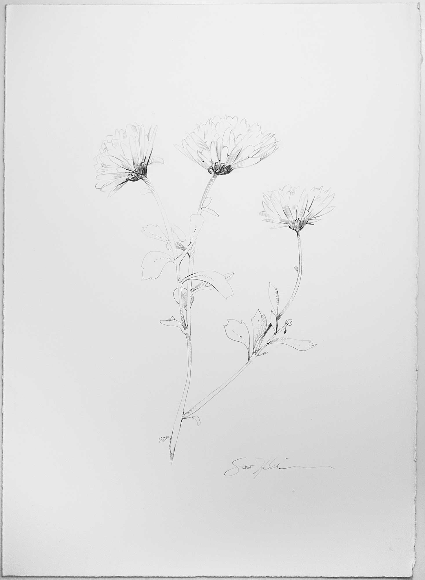 Purchase Daises, A minimalistic study of flowers by Scott Hutchion